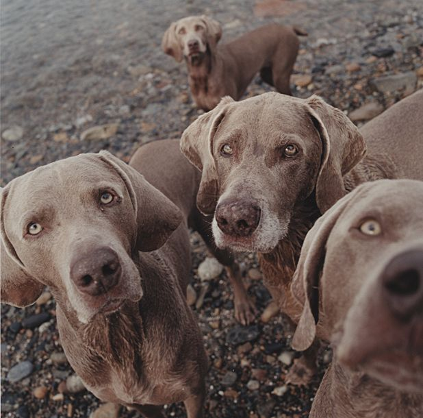 Edward Weston: Life Work and William Wegman: Family Combinations