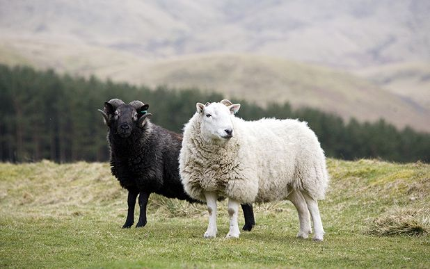How the sheep and lamb from the Scottish Borders earned its reputation