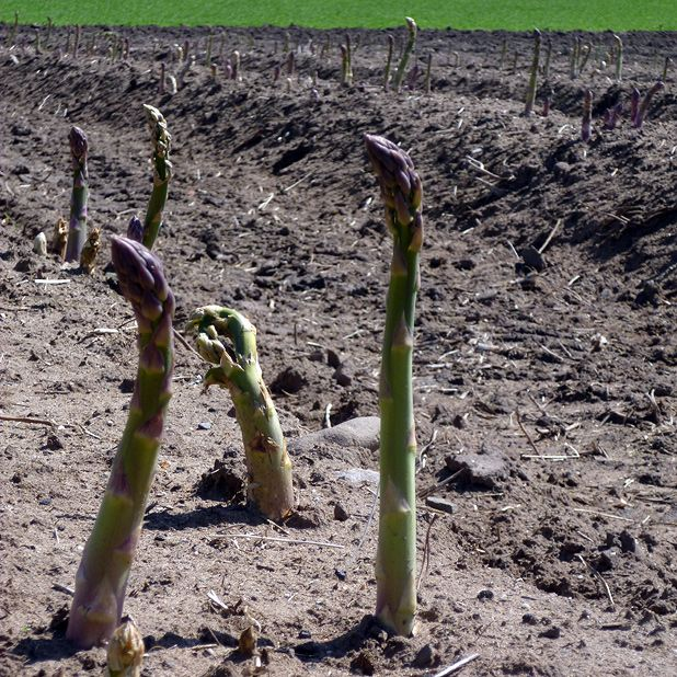 Asparagus farming in Scotland overcomes cold climate